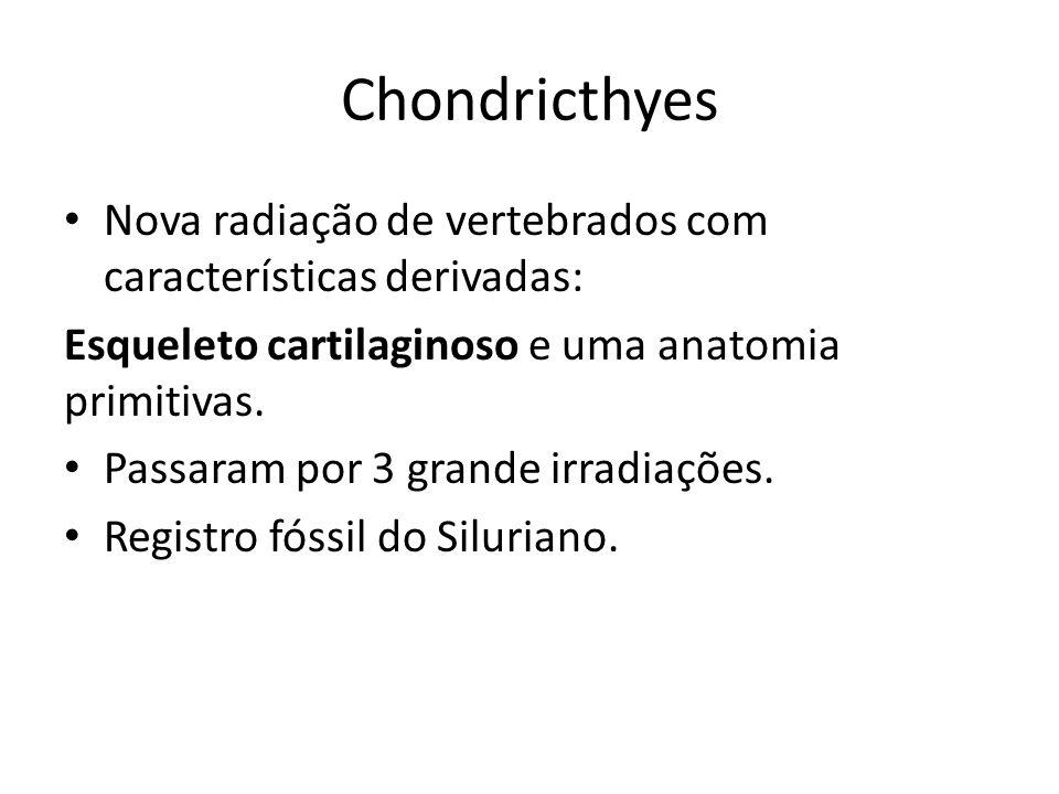 Chondricthyes Nova radiação de vertebrados com características derivadas: Esqueleto cartilaginoso e uma anatomia primitivas.
