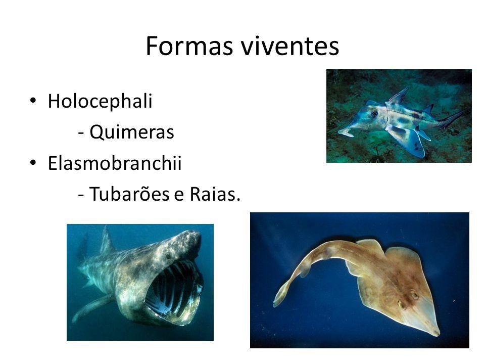 Formas viventes Holocephali - Quimeras Elasmobranchii