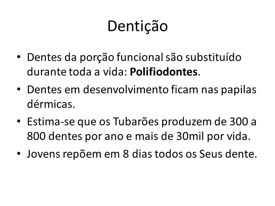 Dentição Dentes da porção funcional são substituído durante toda a vida: Polifiodontes. Dentes em desenvolvimento ficam nas papilas dérmicas.