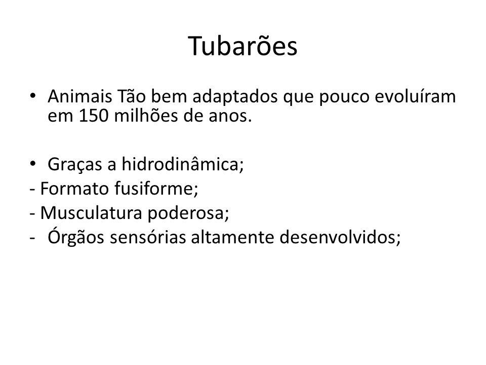 Tubarões Animais Tão bem adaptados que pouco evoluíram em 150 milhões de anos. Graças a hidrodinâmica;