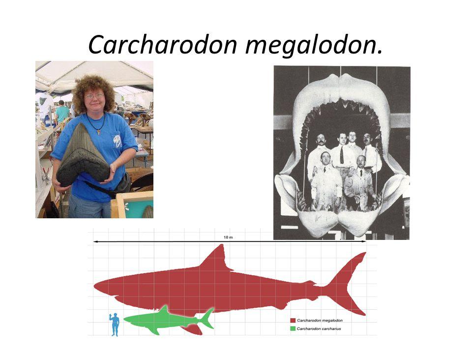 Carcharodon megalodon.