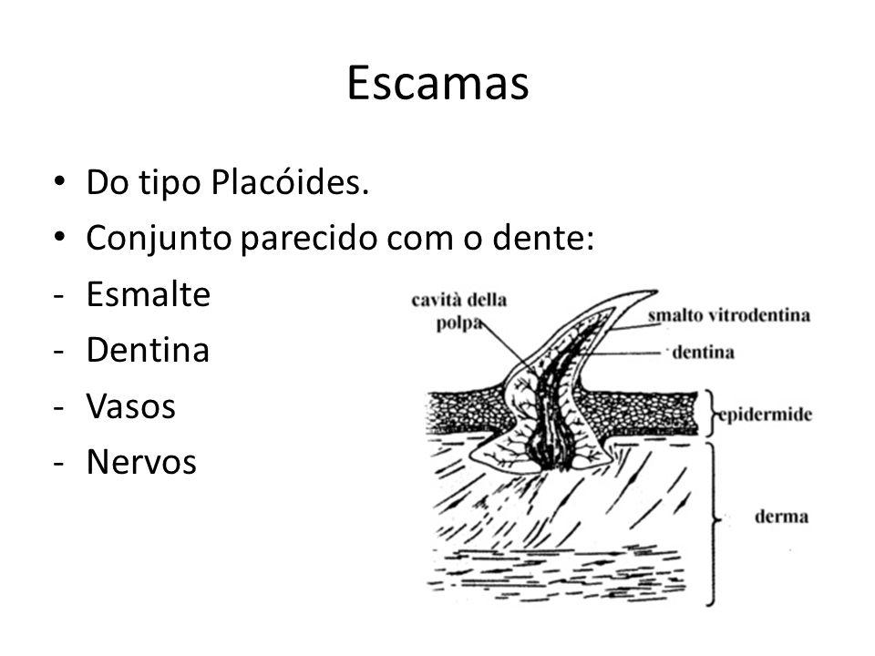 Escamas Do tipo Placóides. Conjunto parecido com o dente: Esmalte