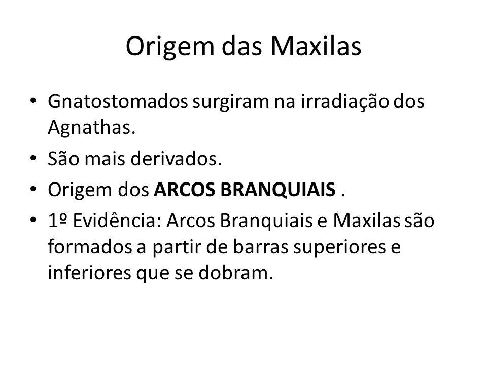 Origem das Maxilas Gnatostomados surgiram na irradiação dos Agnathas.