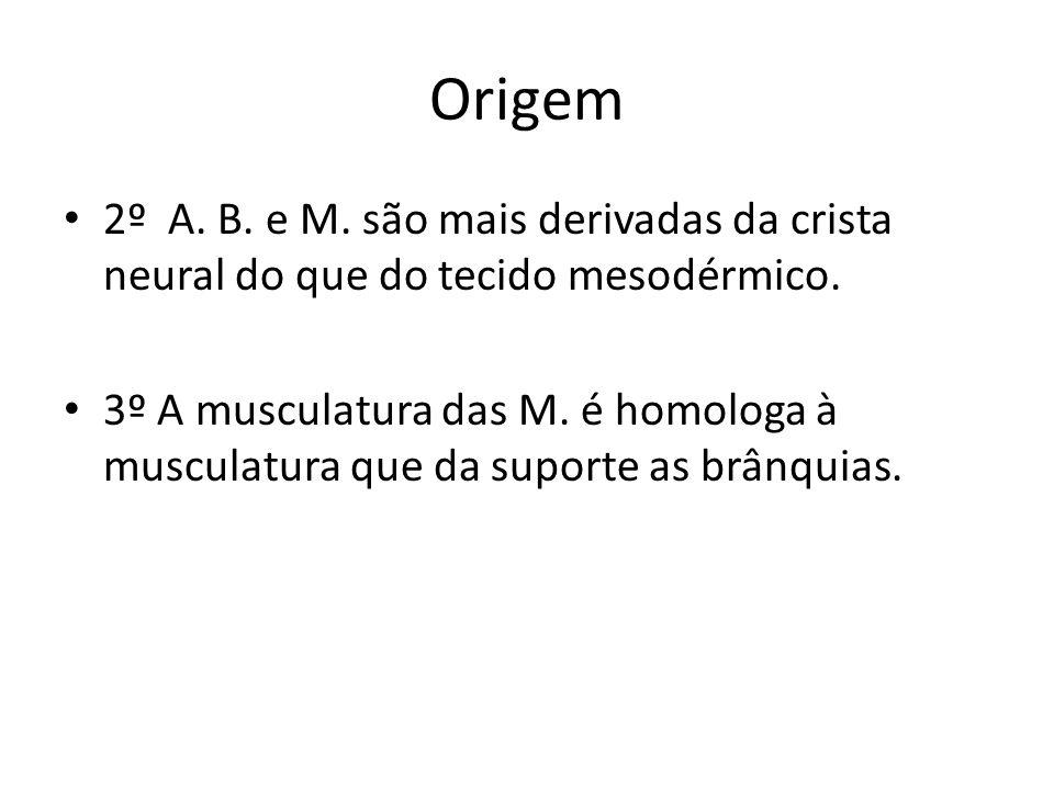 Origem 2º A. B. e M. são mais derivadas da crista neural do que do tecido mesodérmico.