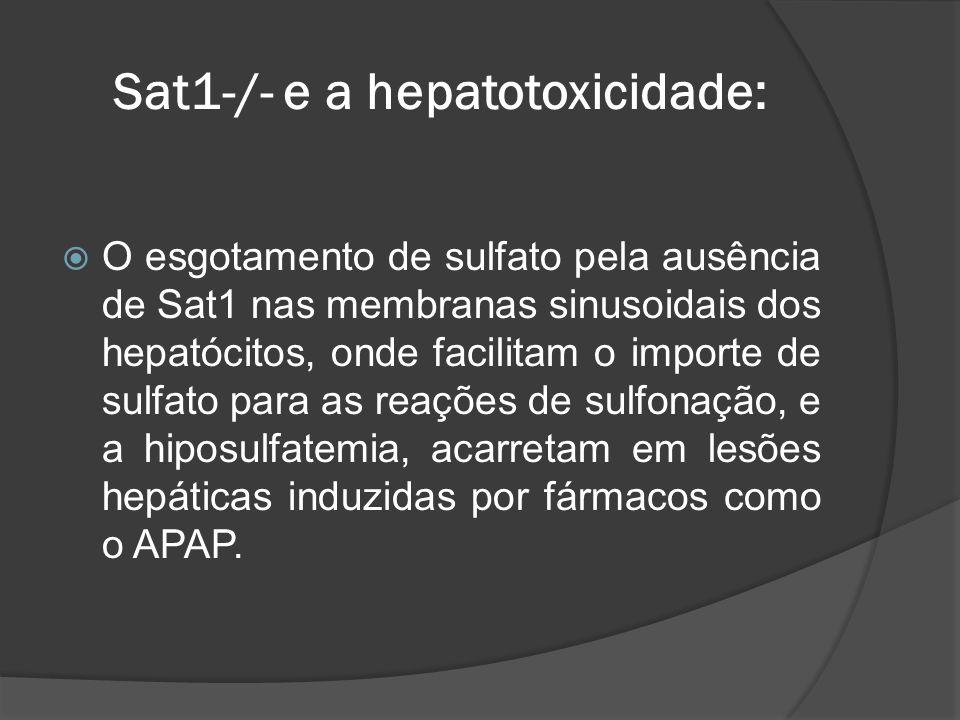 Sat1-/- e a hepatotoxicidade:
