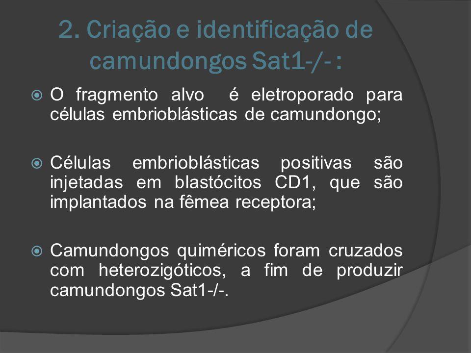 2. Criação e identificação de camundongos Sat1-/- :