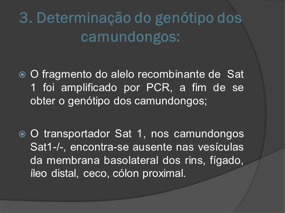 3. Determinação do genótipo dos camundongos: