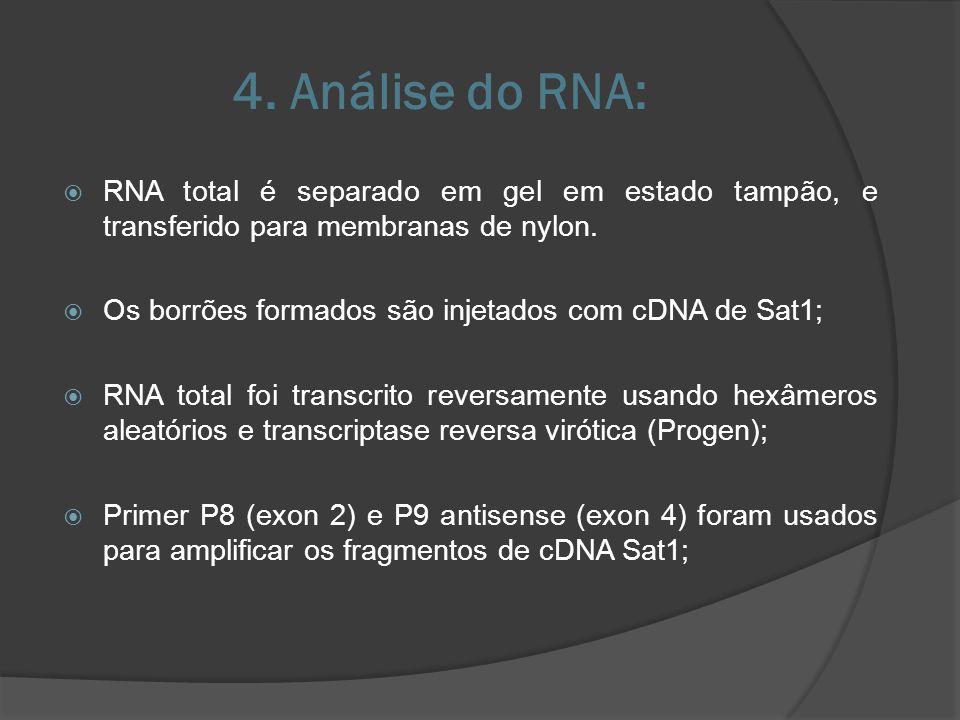 4. Análise do RNA: RNA total é separado em gel em estado tampão, e transferido para membranas de nylon.
