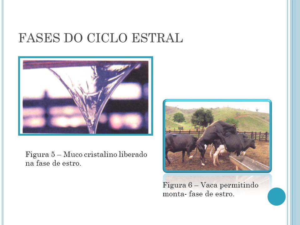 FASES DO CICLO ESTRAL Figura 5 – Muco cristalino liberado na fase de estro.