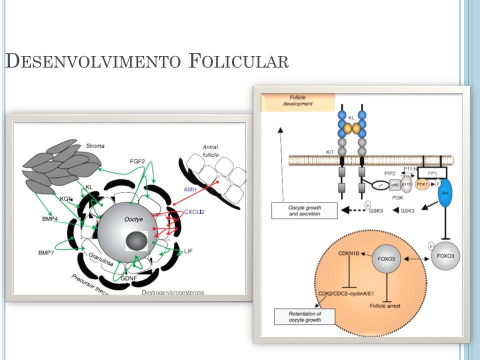 Desenvolvimento Folicular