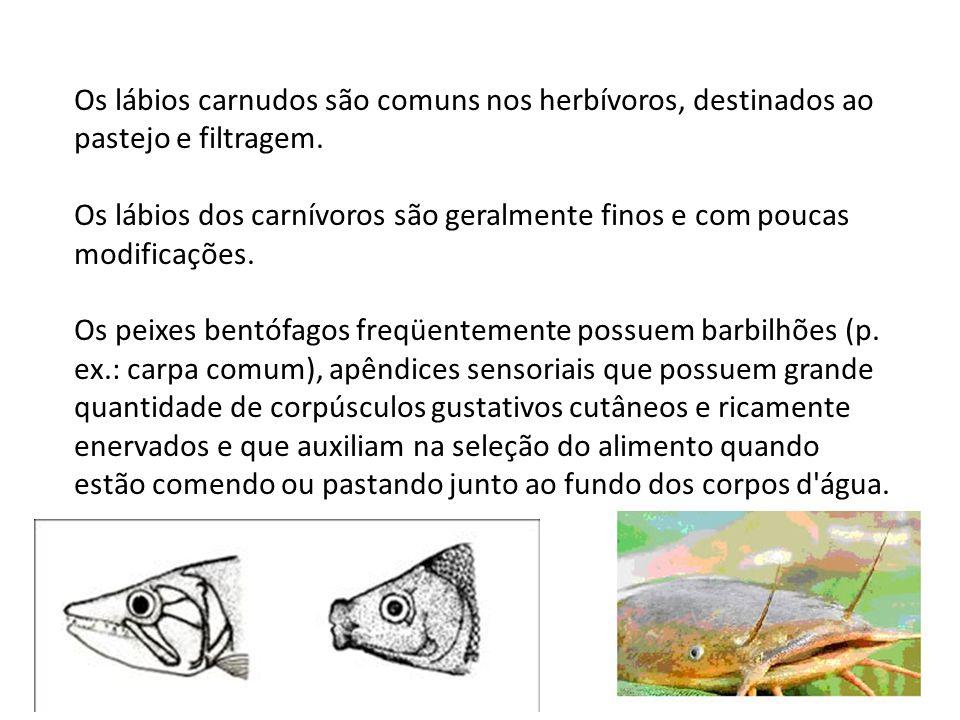 Os lábios carnudos são comuns nos herbívoros, destinados ao pastejo e filtragem.