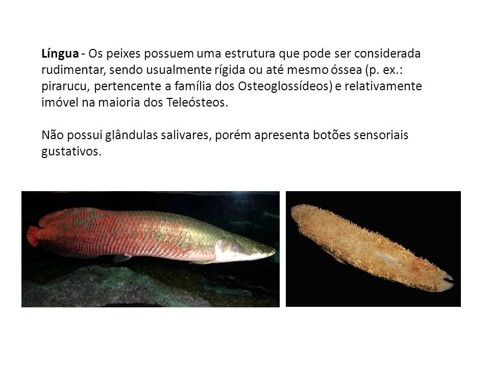 Língua - Os peixes possuem uma estrutura que pode ser considerada rudimentar, sendo usualmente rígida ou até mesmo óssea (p. ex.: pirarucu, pertencente a família dos Osteoglossídeos) e relativamente imóvel na maioria dos Teleósteos.