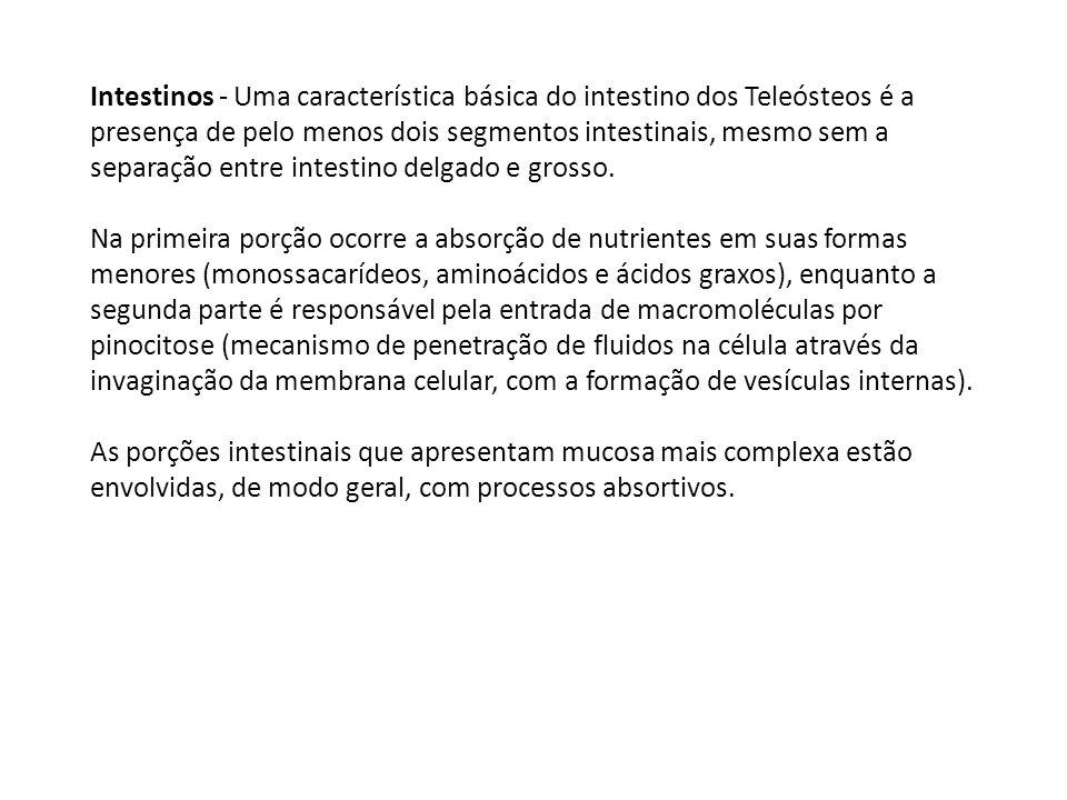 Intestinos - Uma característica básica do intestino dos Teleósteos é a presença de pelo menos dois segmentos intestinais, mesmo sem a separação entre intestino delgado e grosso.