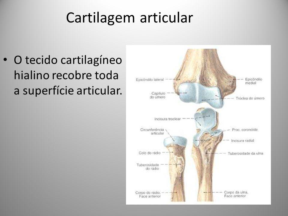 Cartilagem articular O tecido cartilagíneo hialino recobre toda a superfície articular.