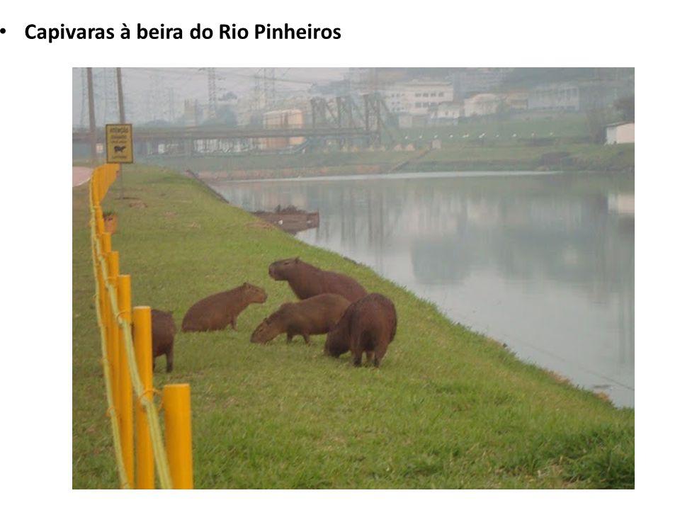 Capivaras à beira do Rio Pinheiros