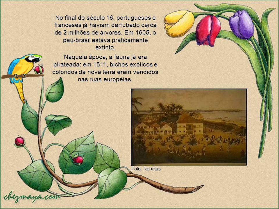 No final do século 16, portugueses e franceses já haviam derrubado cerca de 2 milhões de árvores. Em 1605, o pau-brasil estava praticamente extinto.