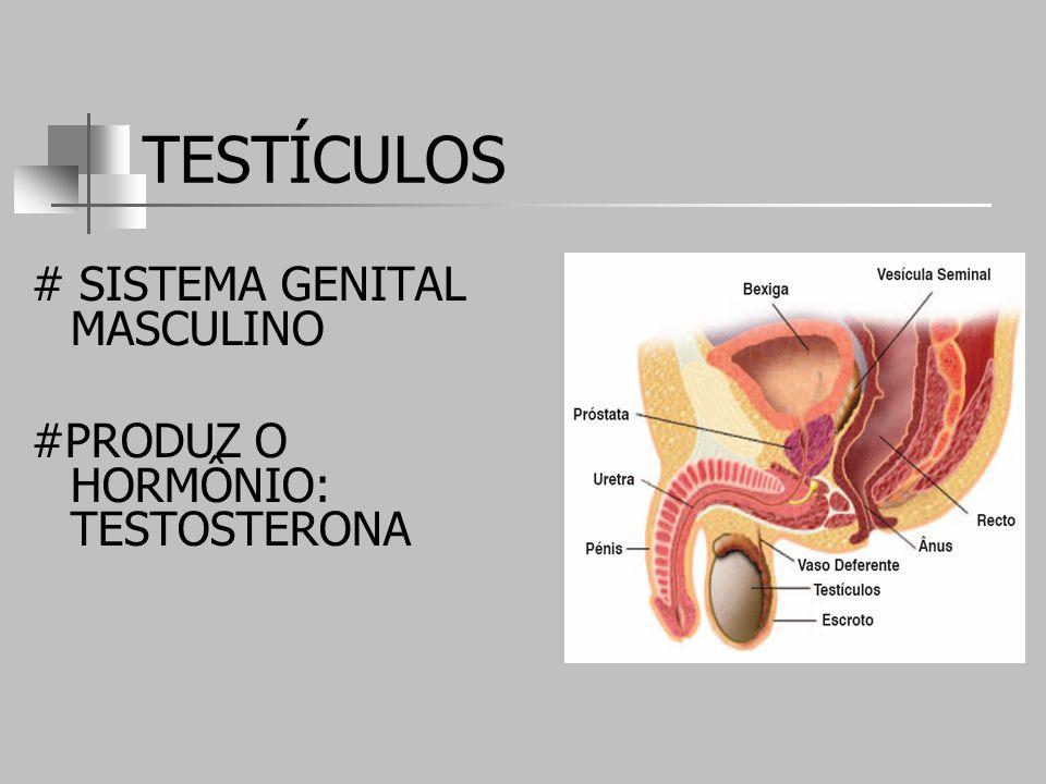 TESTÍCULOS # SISTEMA GENITAL MASCULINO