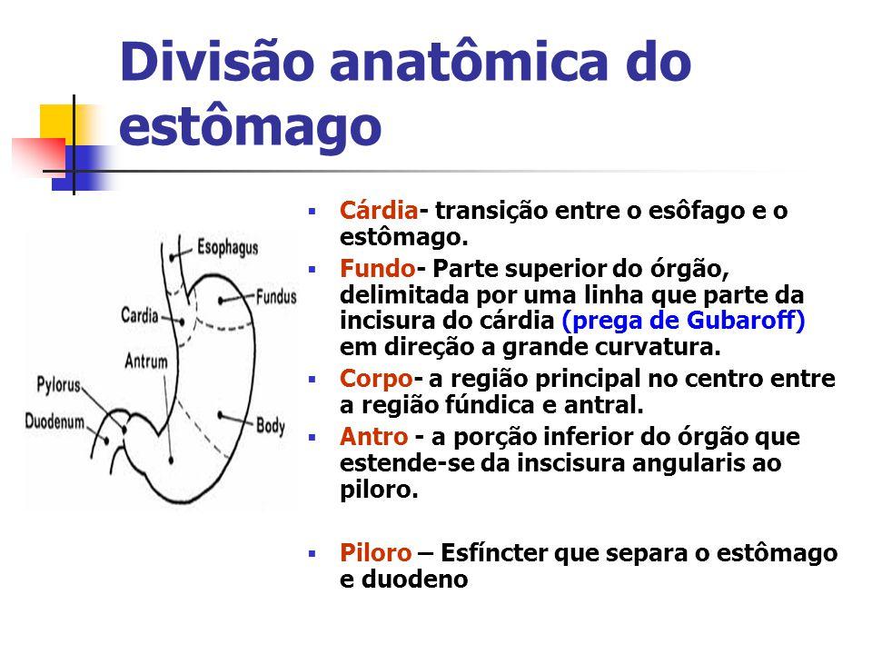Divisão anatômica do estômago