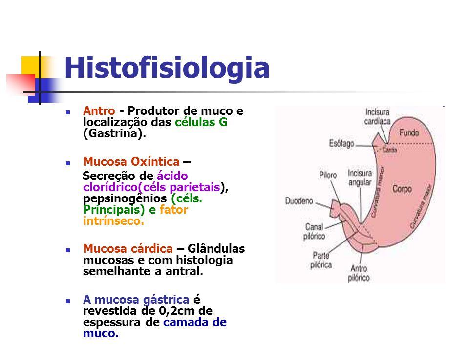 Histofisiologia Antro - Produtor de muco e localização das células G (Gastrina). Mucosa Oxíntica –