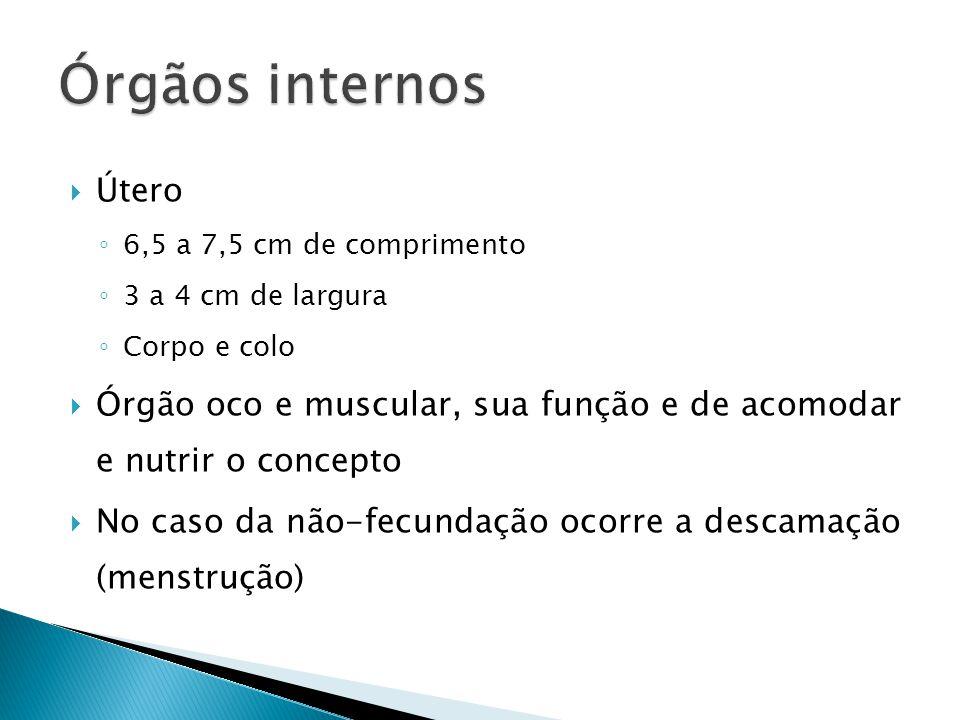 Órgãos internos Útero. 6,5 a 7,5 cm de comprimento. 3 a 4 cm de largura. Corpo e colo.