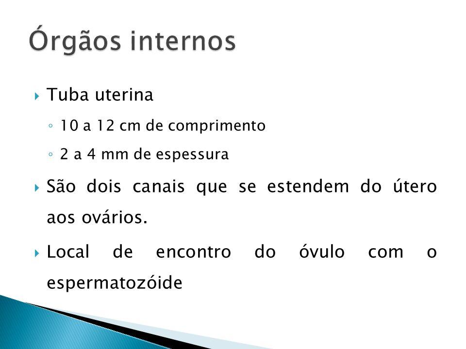 Órgãos internos Tuba uterina