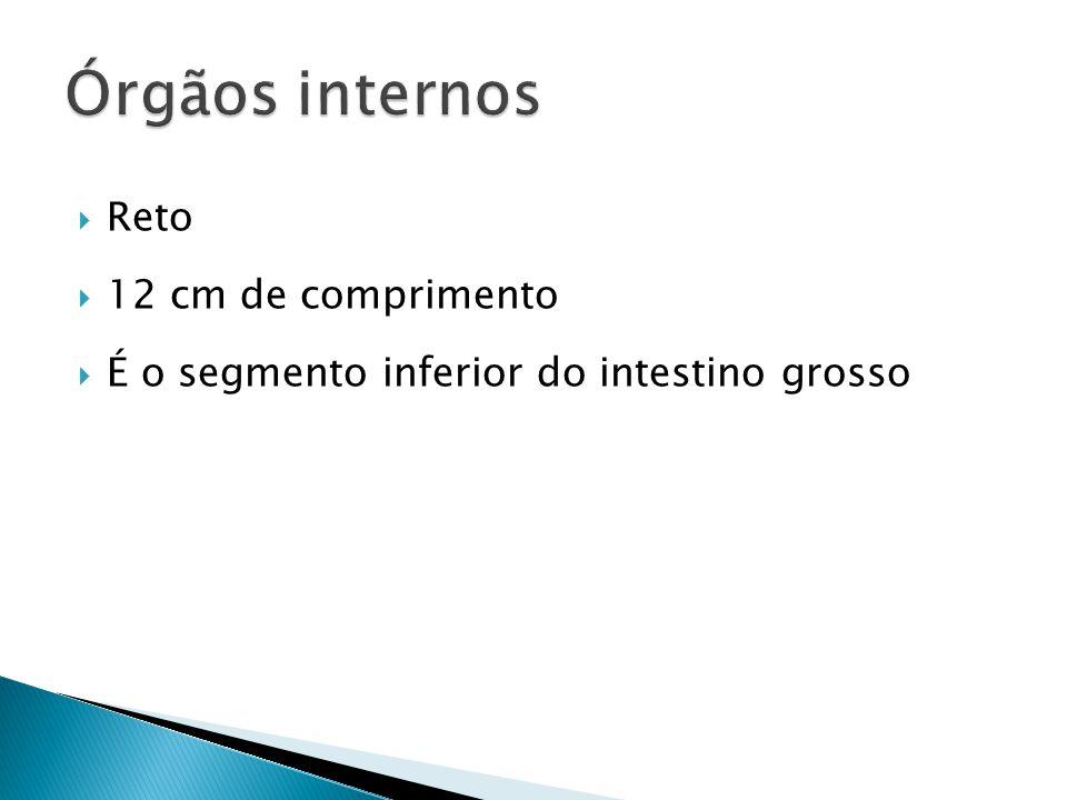 Órgãos internos Reto 12 cm de comprimento