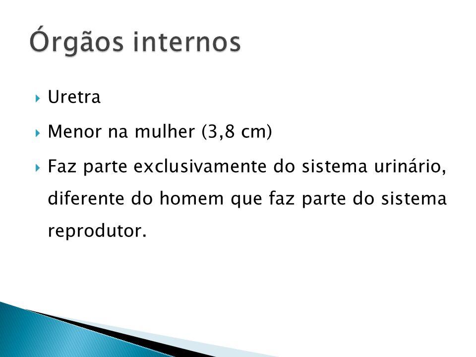 Órgãos internos Uretra Menor na mulher (3,8 cm)