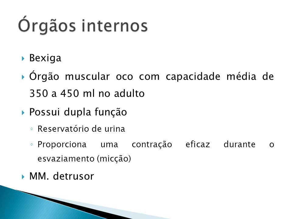 Órgãos internos Bexiga
