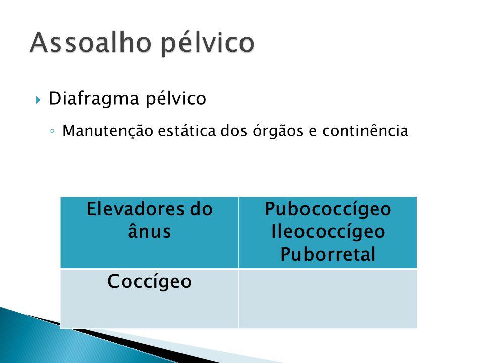 Assoalho pélvico Elevadores do ânus Pubococcígeo Ileococcígeo