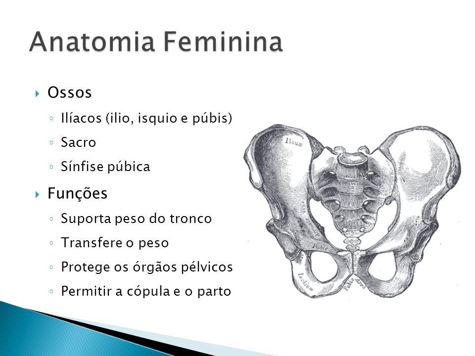 Anatomia Feminina Ossos Funções Ilíacos (ilio, isquio e púbis) Sacro