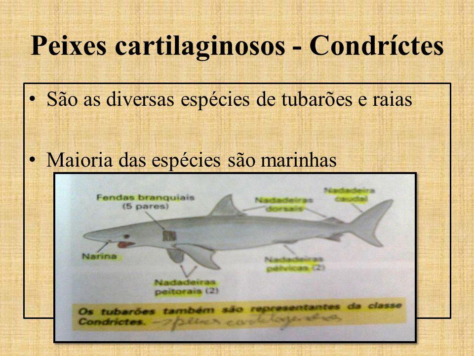 Peixes cartilaginosos - Condríctes