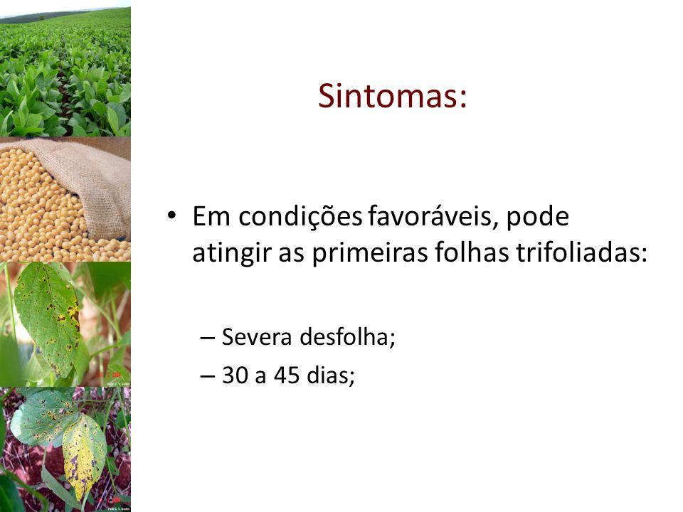 Sintomas: Em condições favoráveis, pode atingir as primeiras folhas trifoliadas: Severa desfolha; 30 a 45 dias;