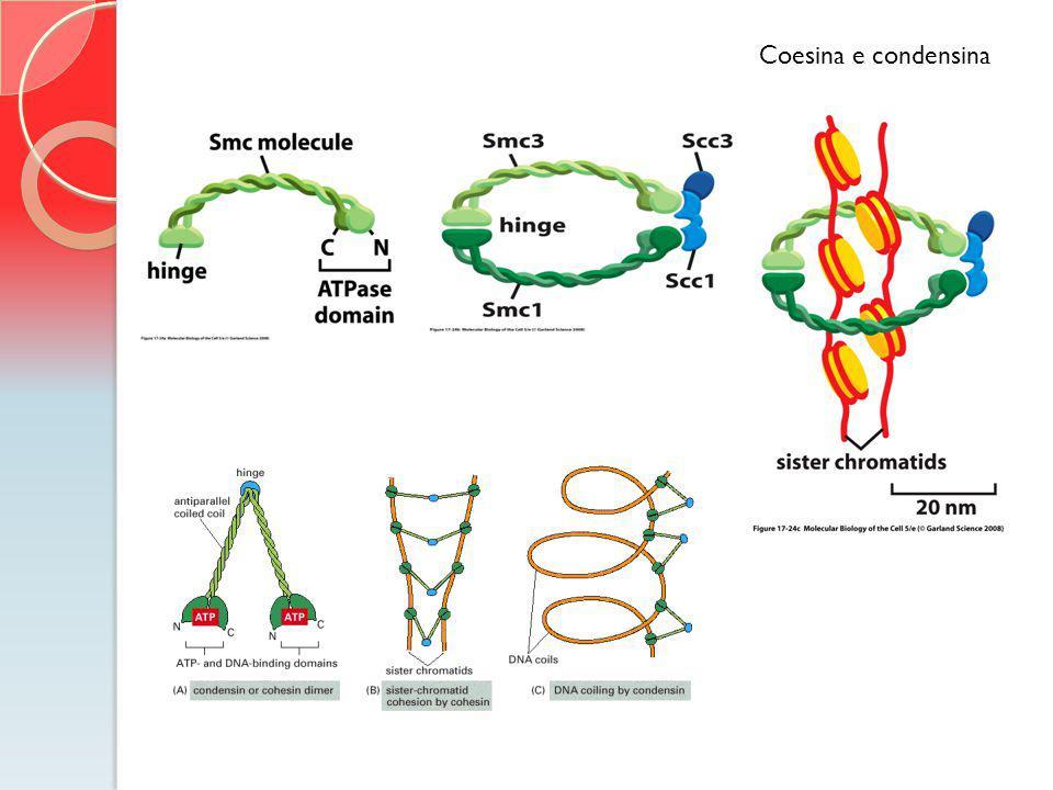 Coesina e condensina O complexo depositado na fase G1 e a coesão é estabelecida concomitante a replicação DNA.