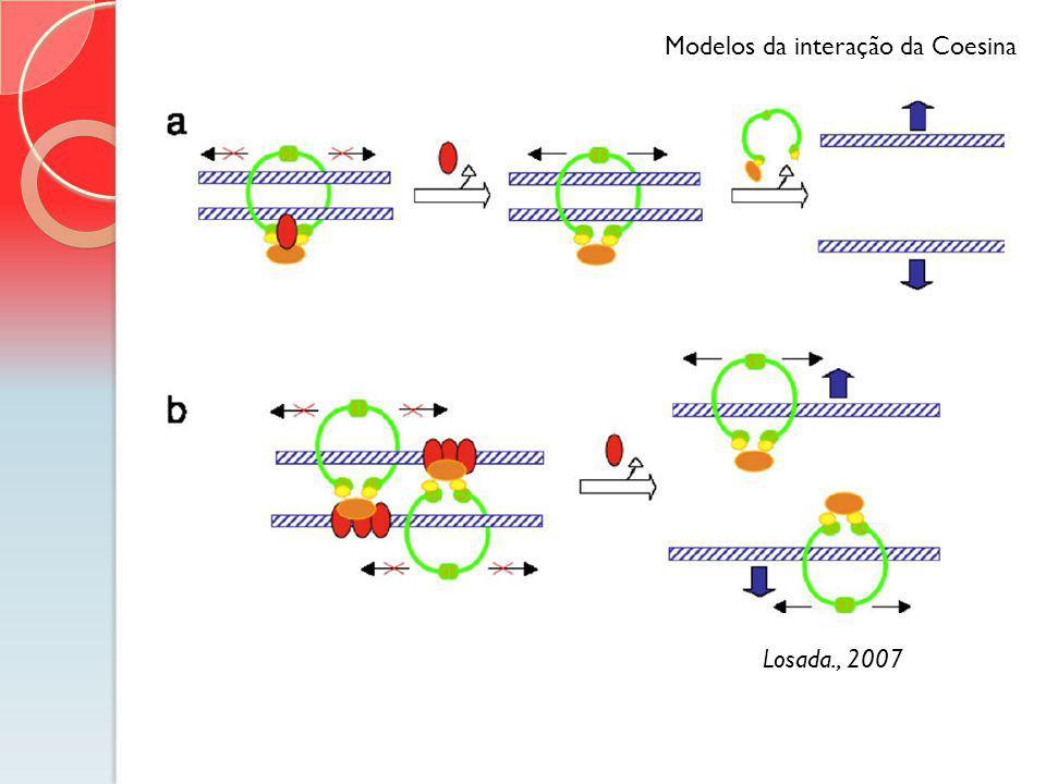 Modelos da interação da Coesina