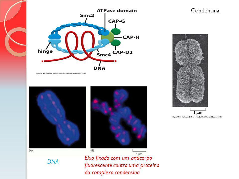 Condensina Cromossomo bem condensado! A condensação de cromossomos na mitose depende das CONDENSINAS, complexo protéico com 5 subunidades.