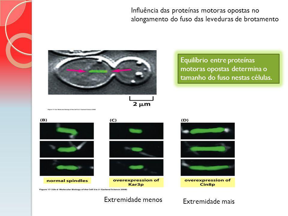 Influência das proteínas motoras opostas no alongamento do fuso das leveduras de brotamento