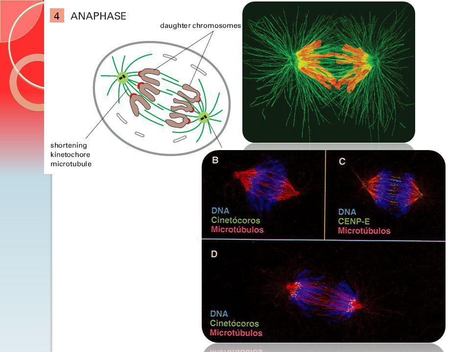 Na súbita transição da metafase-anáfase inicia a desfosforilação de muitas proteínas que estavam fosforiladas na prófase.
