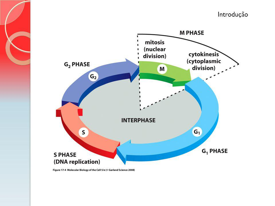 Introdução G1 – intensa síntese de componentes necessários para a divisão ocorrer. A célula dobra de volume.