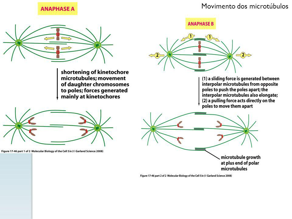 Movimento dos microtúbulos