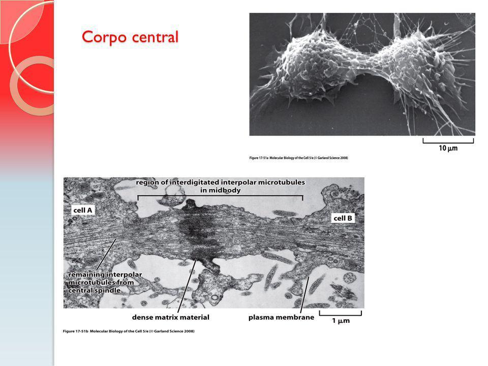 Corpo central