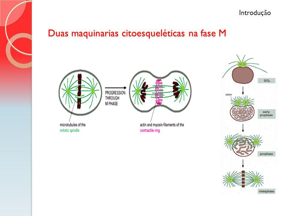 Duas maquinarias citoesqueléticas na fase M