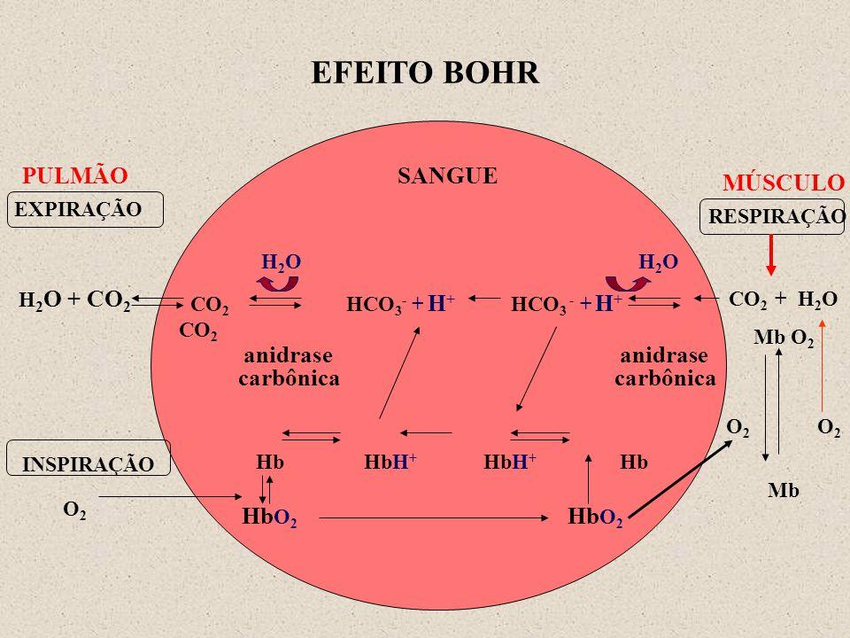 EFEITO BOHR PULMÃO SANGUE H2O H2O CO2 HCO3- + H+ HCO3 - + H+ CO2