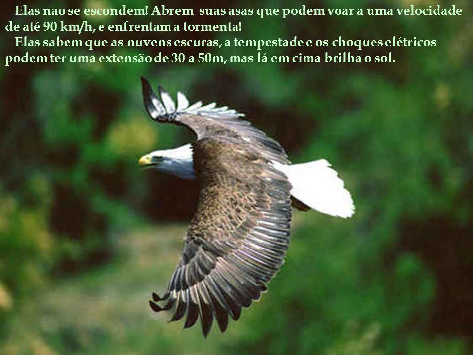 Elas nao se escondem! Abrem suas asas que podem voar a uma velocidade de até 90 km/h, e enfrentam a tormenta!