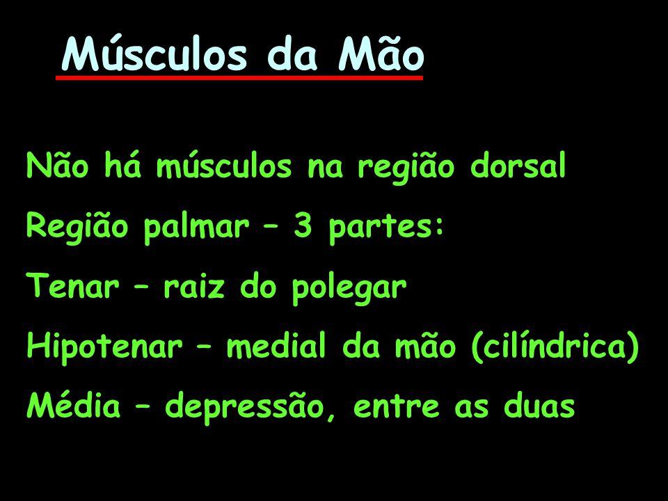 Músculos da Mão Não há músculos na região dorsal
