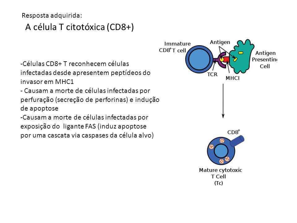 A célula T citotóxica (CD8+)