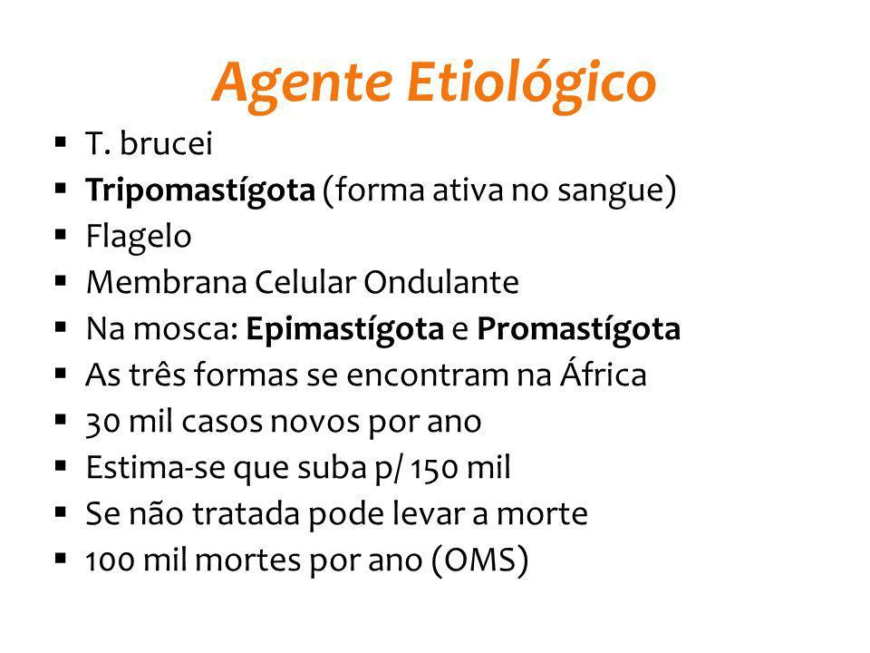 Agente Etiológico T. brucei Tripomastígota (forma ativa no sangue)