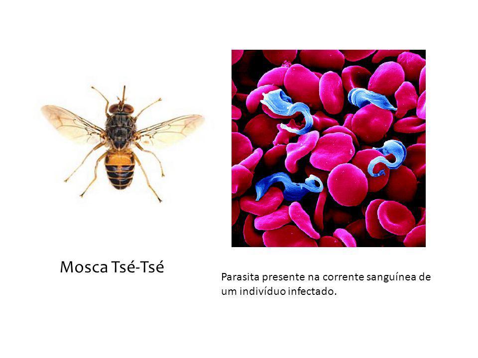 Mosca Tsé-Tsé Parasita presente na corrente sanguínea de