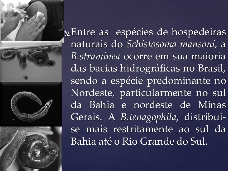Entre as espécies de hospedeiras naturais do Schistosoma mansoni, a B