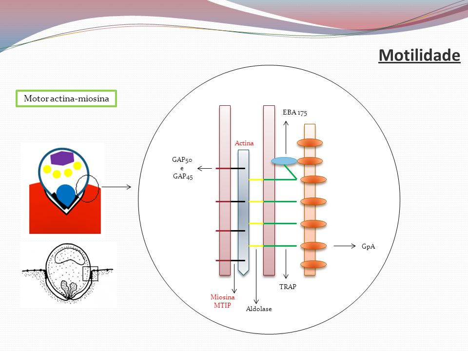 Motilidade Motor actina-miosina EBA 175 Actina GAP50 e GAP45 GpA TRAP