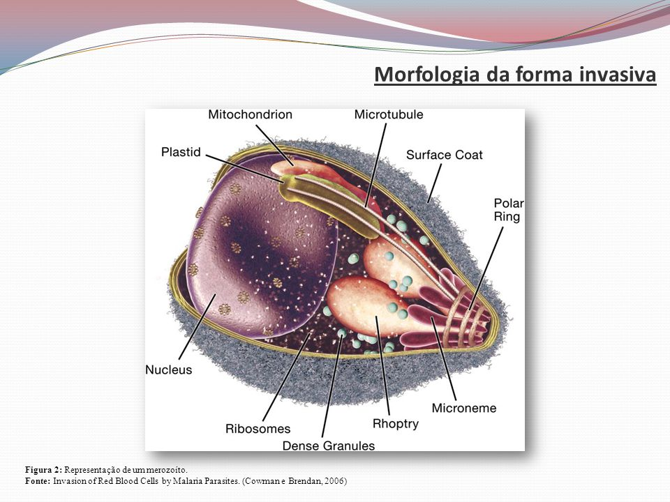 Morfologia da forma invasiva